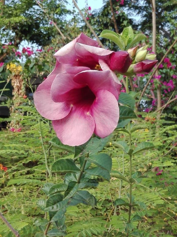 Fiore di rosa di colore rosa fotografie stock libere da diritti