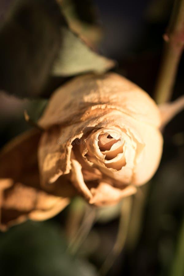 fiore di rosa gialla avvizzito vista superiore con sfondo sfuocato fotografia stock libera da diritti