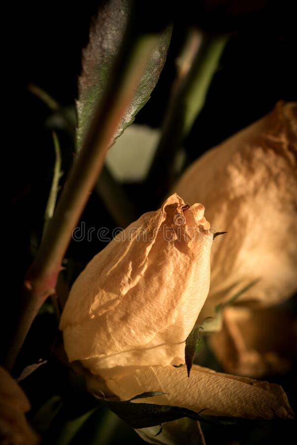 fiore di rosa gialla selvatico su fondo scuro fotografia stock