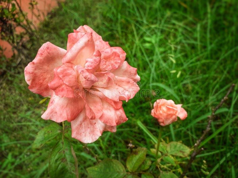 Fiore di rosa in giardino immagine stock libera da diritti