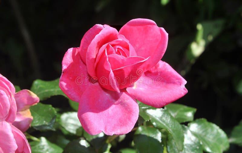 Fiore di Rosa nel giardino fotografia stock