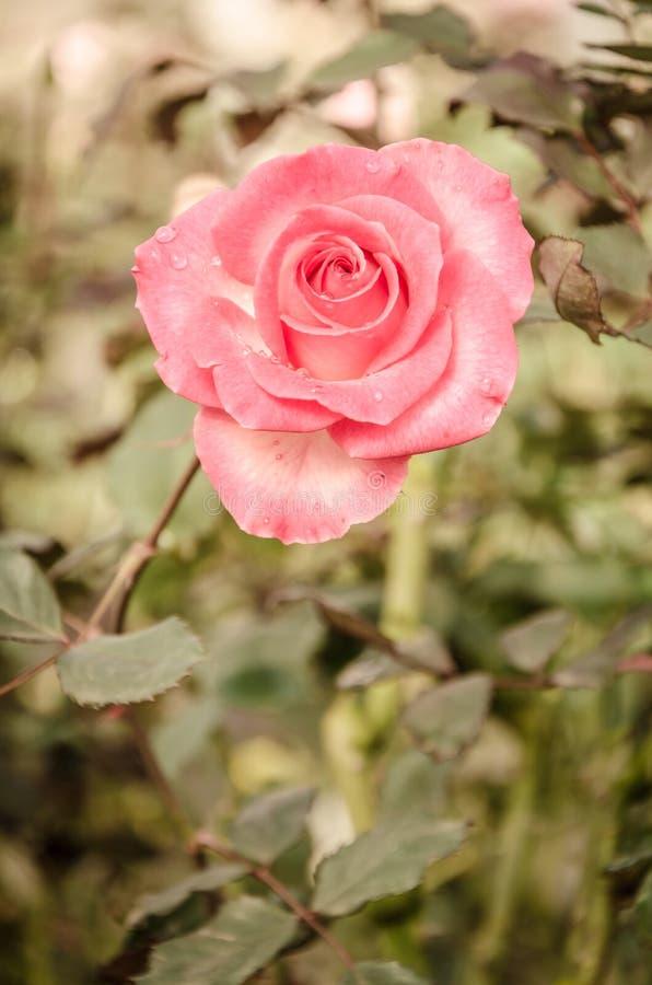 Fiore di Rosa nello stile d'annata fotografie stock libere da diritti