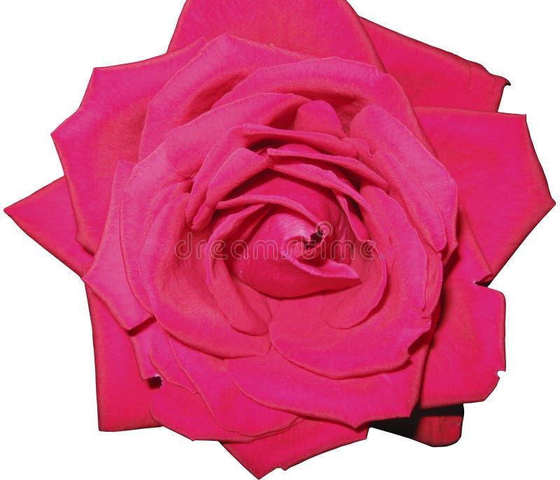 Fiore di Rosa su un fondo trasparente immagine stock