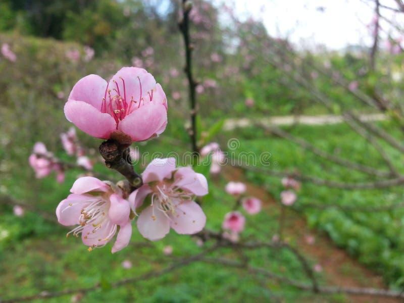fiore di sakura della Tailandia del nord fotografia stock
