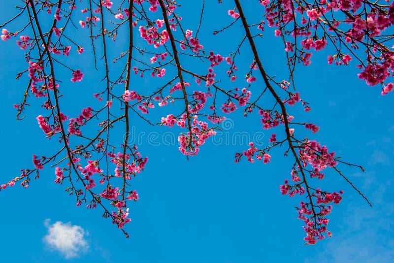 Fiore di Sakura e bossom della ciliegia fotografie stock libere da diritti