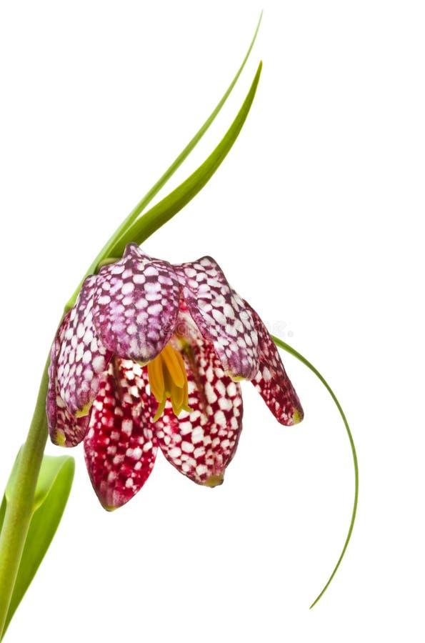 Fiore di scacchi o il giglio capo del serpente immagine stock