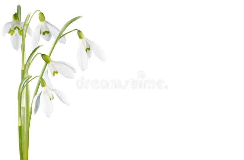Fiore di Snowdrop isolato fotografie stock