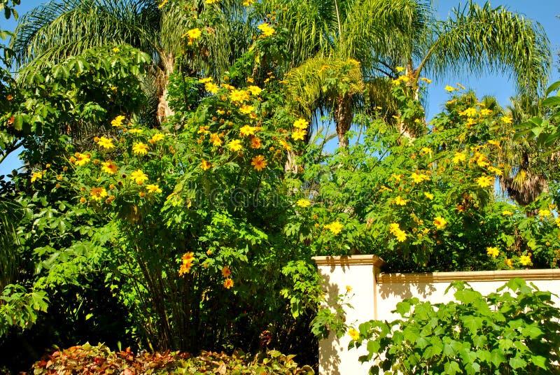 Fiore di sole di Schweinitz immagini stock libere da diritti