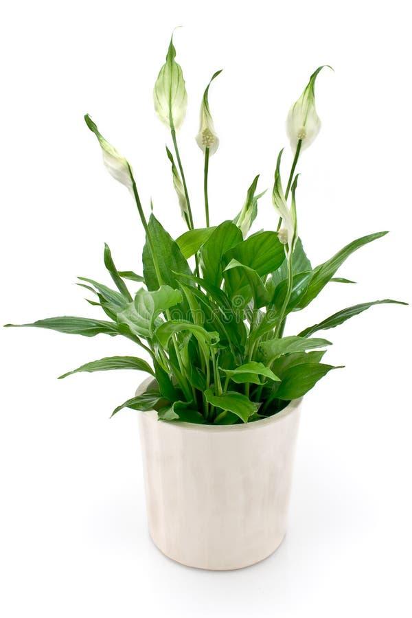 Fiore di Spathiphyllum immagine stock