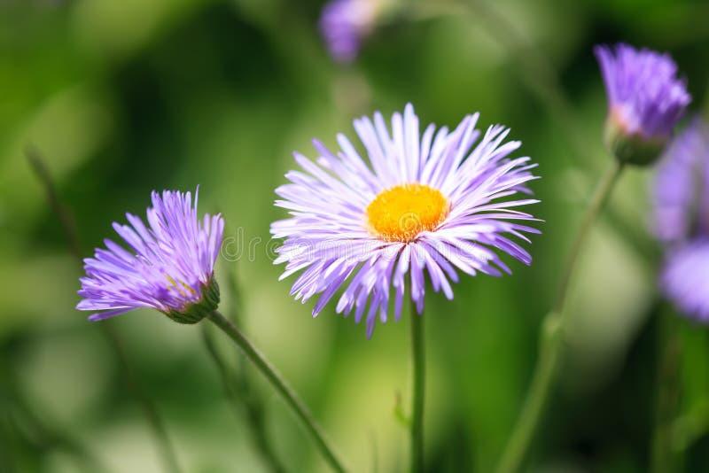 Fiore di speciosus di erigeron fotografia stock libera da diritti
