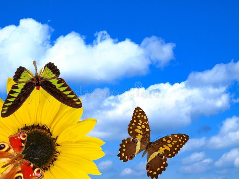 Fiore di Sun con le farfalle sulla priorità bassa del cielo fotografia stock
