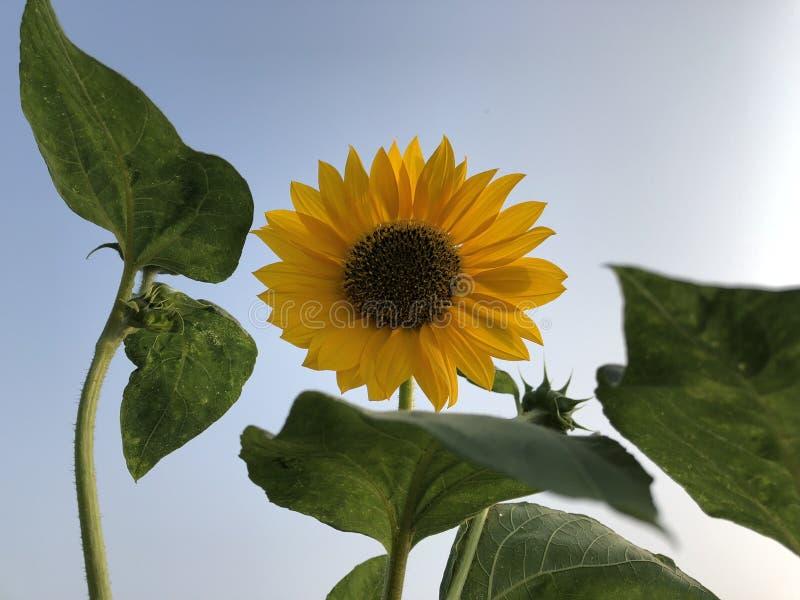 Fiore di Sun, Helianthus cielo blu come i precedenti immagini stock libere da diritti