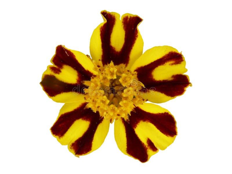 Fiore di Tagetes fotografie stock libere da diritti