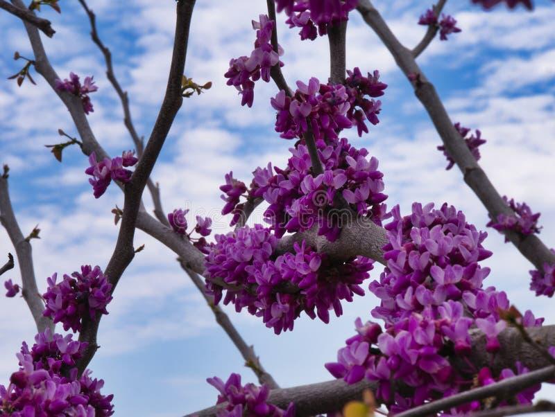 Fiore di Texas Redbud Springtime fotografia stock libera da diritti