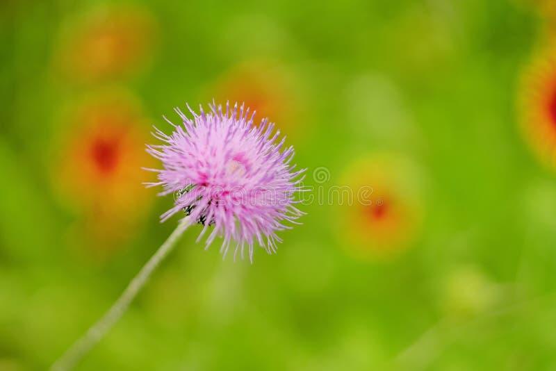 Fiore di Texas Thistle immagini stock libere da diritti