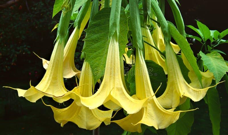 Fiore di tromba dell'angelo immagini stock libere da diritti