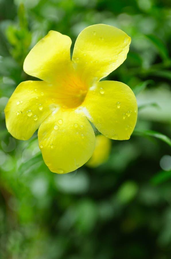 Fiore di tromba dorata fotografia stock