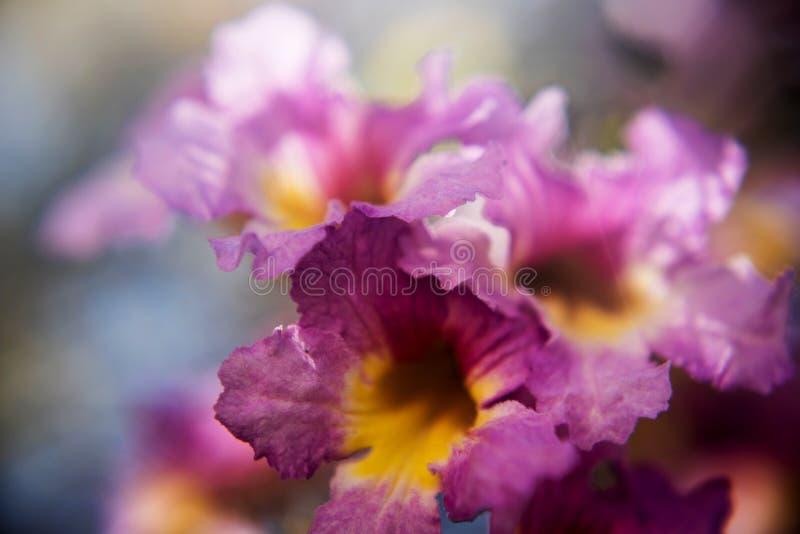 Fiore di tromba porpora fotografie stock