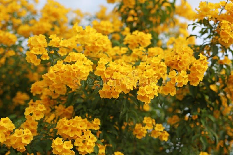 Fiore di tromba sul ramo dell'albero Bush di Yellow Elder, Trumpetbush fotografie stock libere da diritti