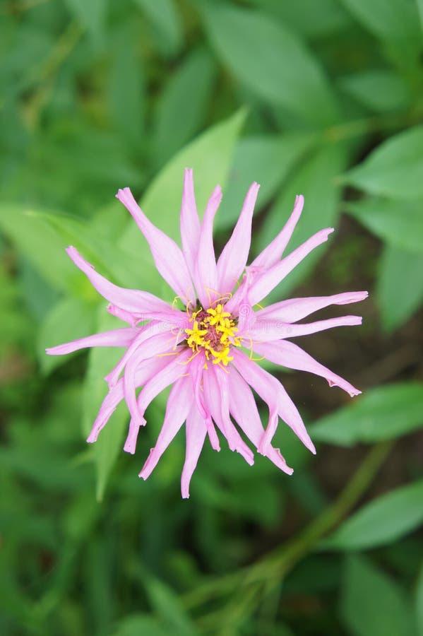 Fiore di Tsinniya fotografia stock