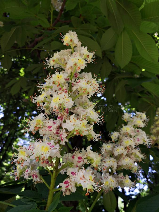 Fiore di un albero della castagna d'India immagine stock