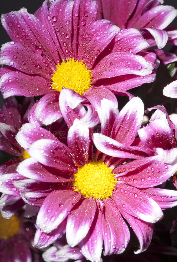 Fiore di un crisantemo cremisi luminoso nelle gocce di acqua fotografia stock libera da diritti