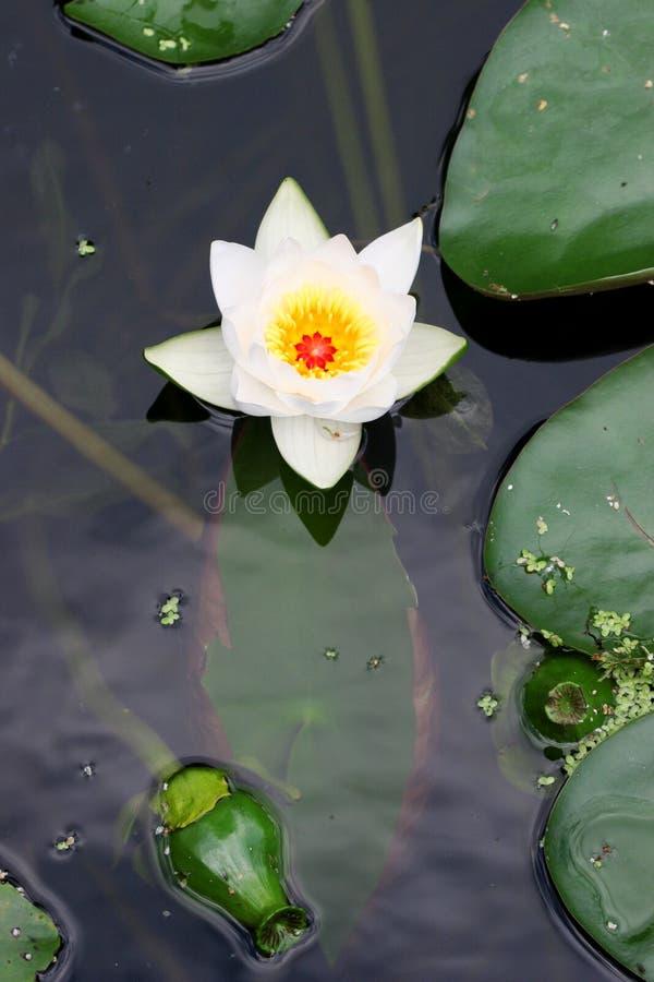 Download Fiore di un giglio immagine stock. Immagine di stagno, acqua - 213857