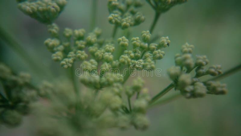 Fiore di un prezzemolo fotografia stock libera da diritti