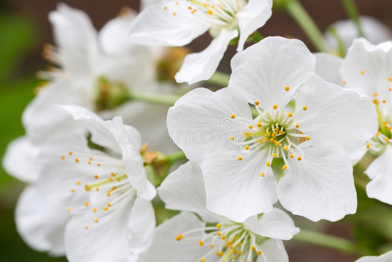 Fiore di un T della mela fotografia stock