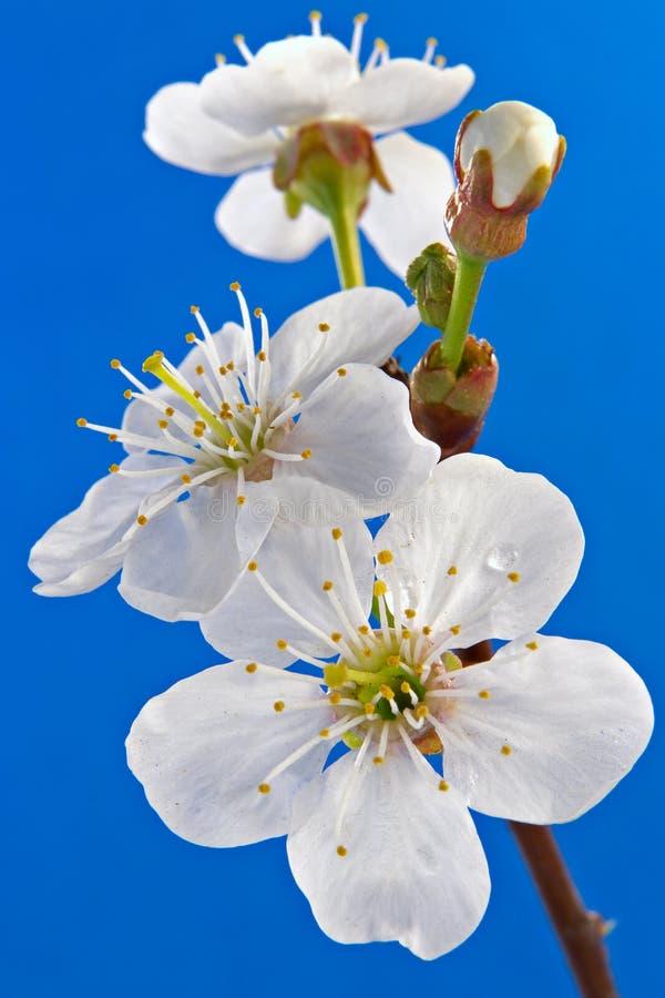 Fiore di una ciliegia fotografia stock