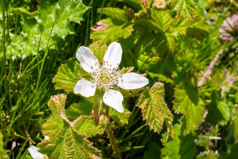 Fiore di ursinus del Rubus della mora di California, California fotografie stock