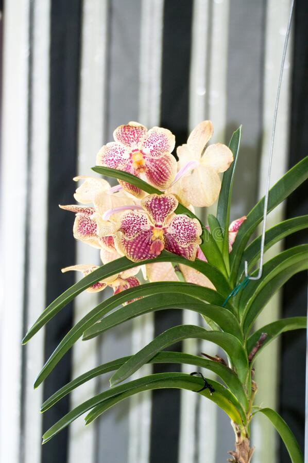 Fiore di Vanda Coerulea Orchid 12 mag 2019 Madrid Spagna Fotografia della natura della biologia botanica fotografie stock