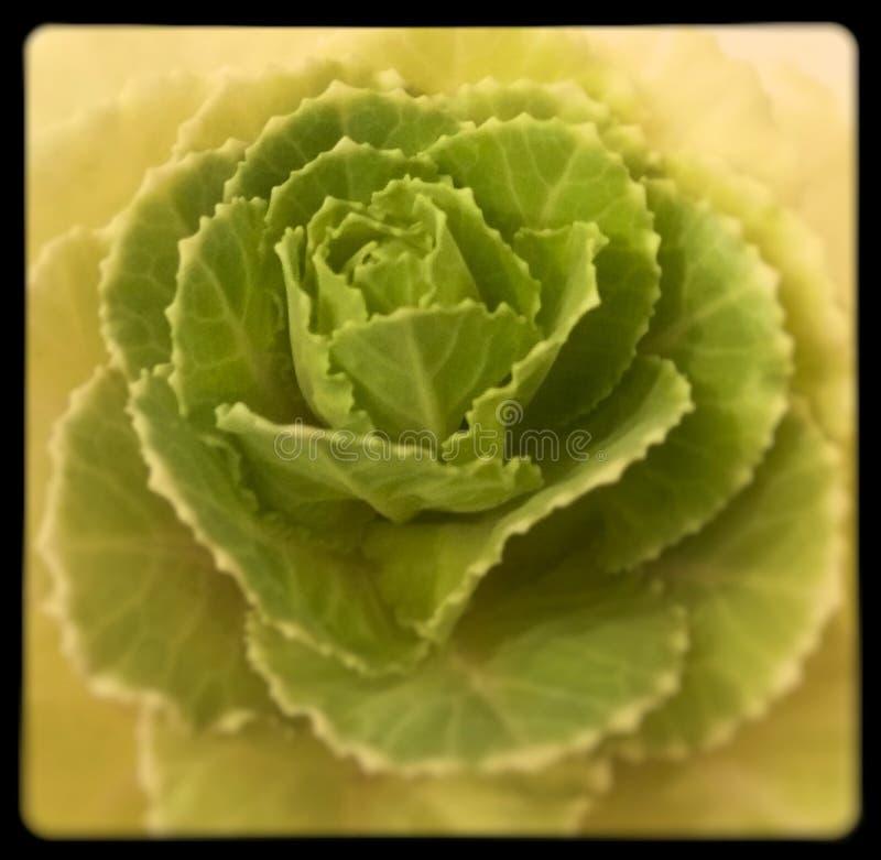 Fiore di verde di Rosa del cavolo immagine stock libera da diritti