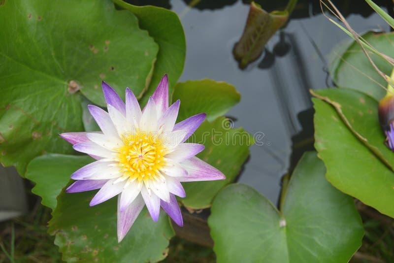 Fiore di Violet White Nilumbo Nucifera Lotus nello stagno di acqua fotografia stock