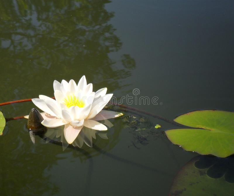 Fiore di WaterLily immagini stock