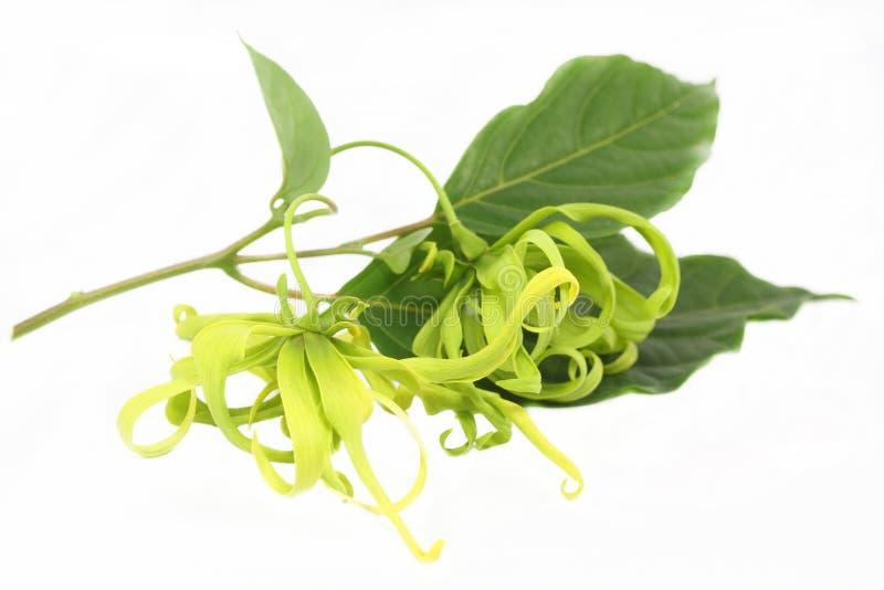 Fiore di ylang ylang immagine stock