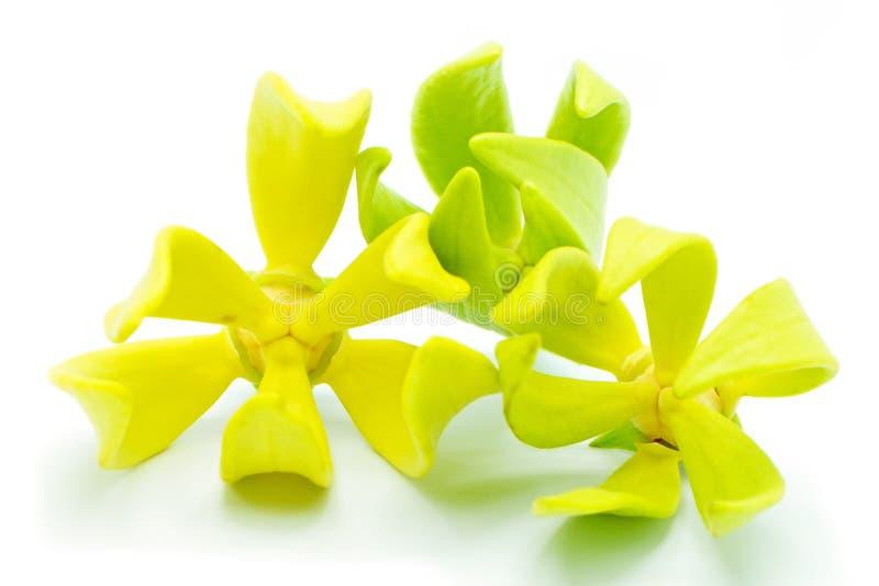 Fiore di ylang ylang immagini stock