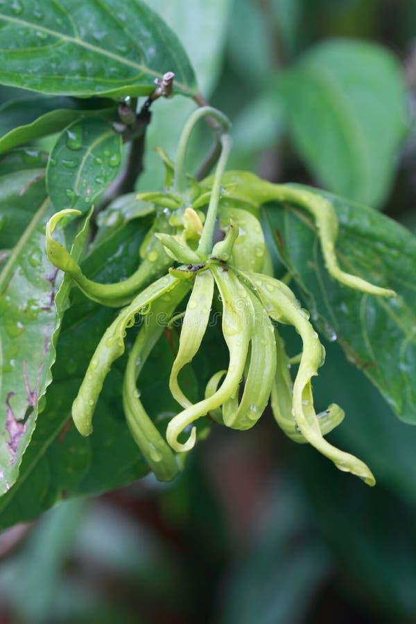 Fiore di ylang ylang fotografia stock libera da diritti