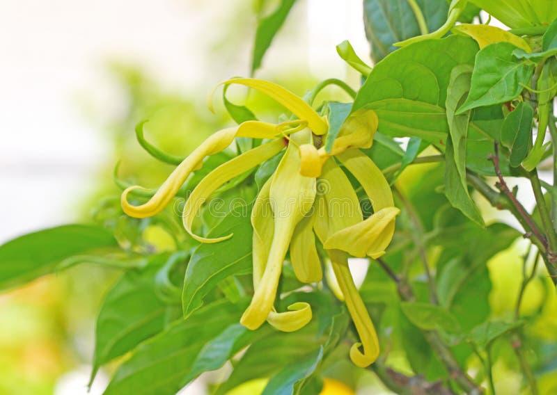 Fiore di ylang ylang fotografie stock libere da diritti