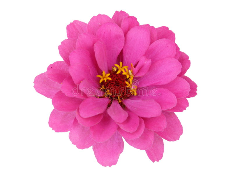 Fiore di Zinnia fotografia stock libera da diritti