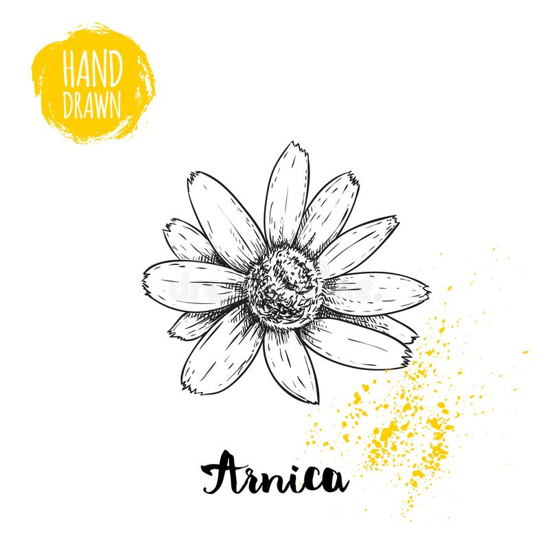 Fiore disegnato a mano dell'arnica di stile di schizzo Illustrazione di vettore della medicina di erbe illustrazione vettoriale