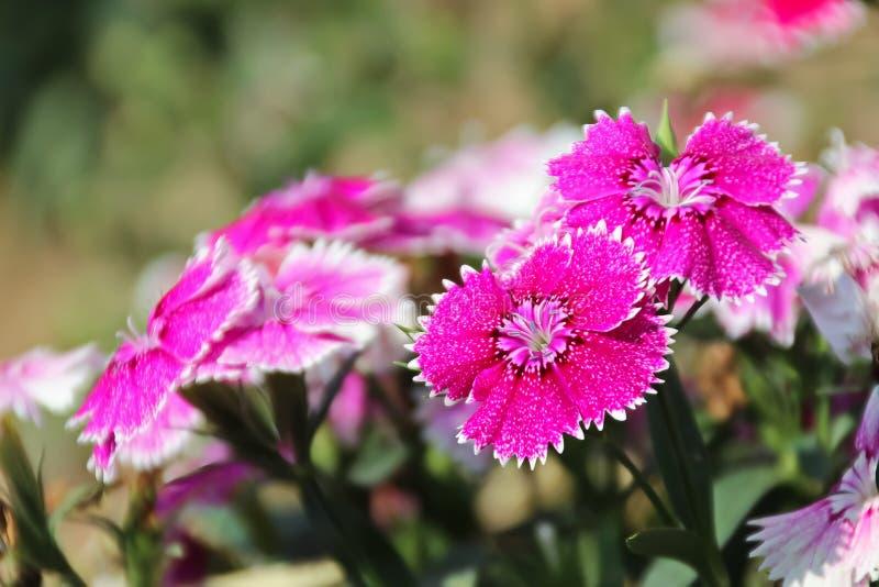 Fiore dolce del Dianthus o di William Flower fotografie stock