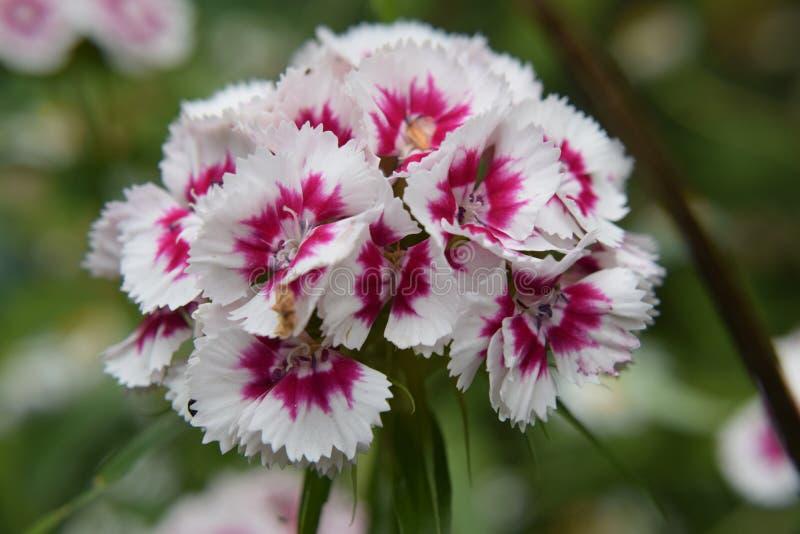 Fiore dolce di William fotografia stock