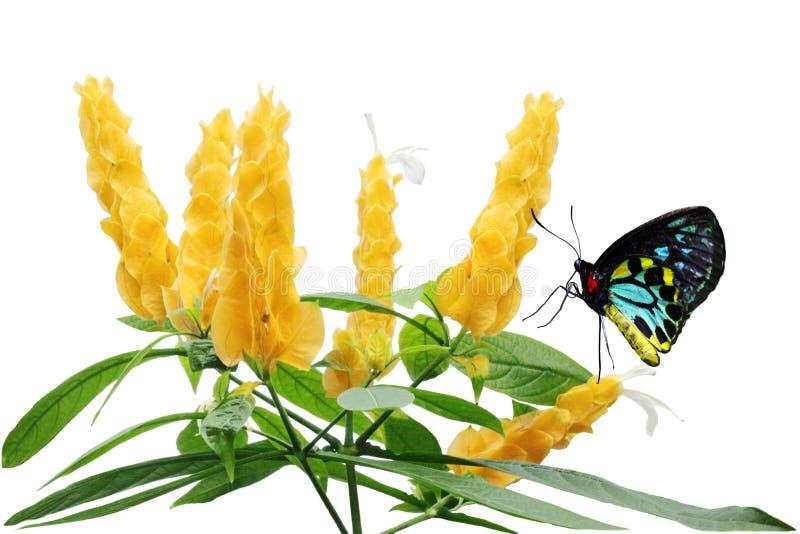 Fiore dorato del gambero fotografie stock