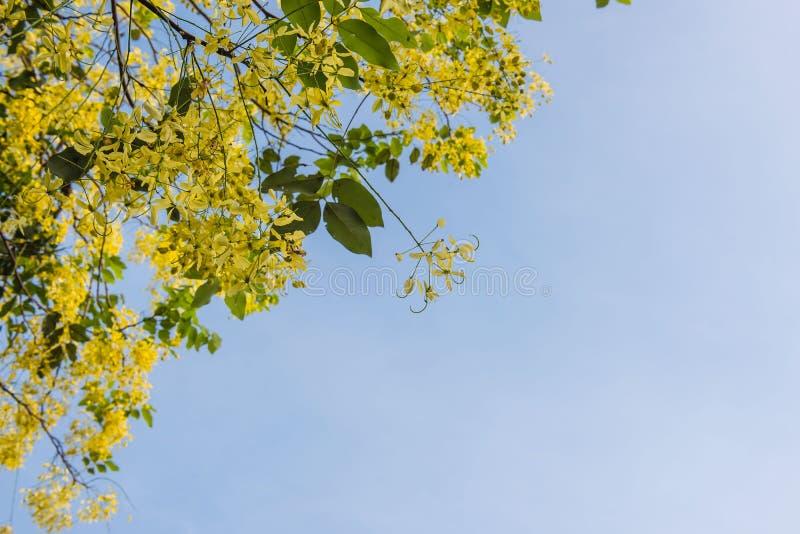 Fiore dorato di Cassia Fistula sul fondo del cielo blu fotografie stock
