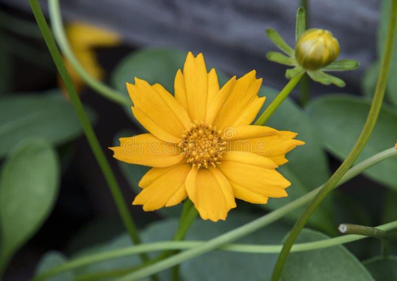 Fiore dorato di Nana di Coreopsis del primo piano fotografia stock libera da diritti