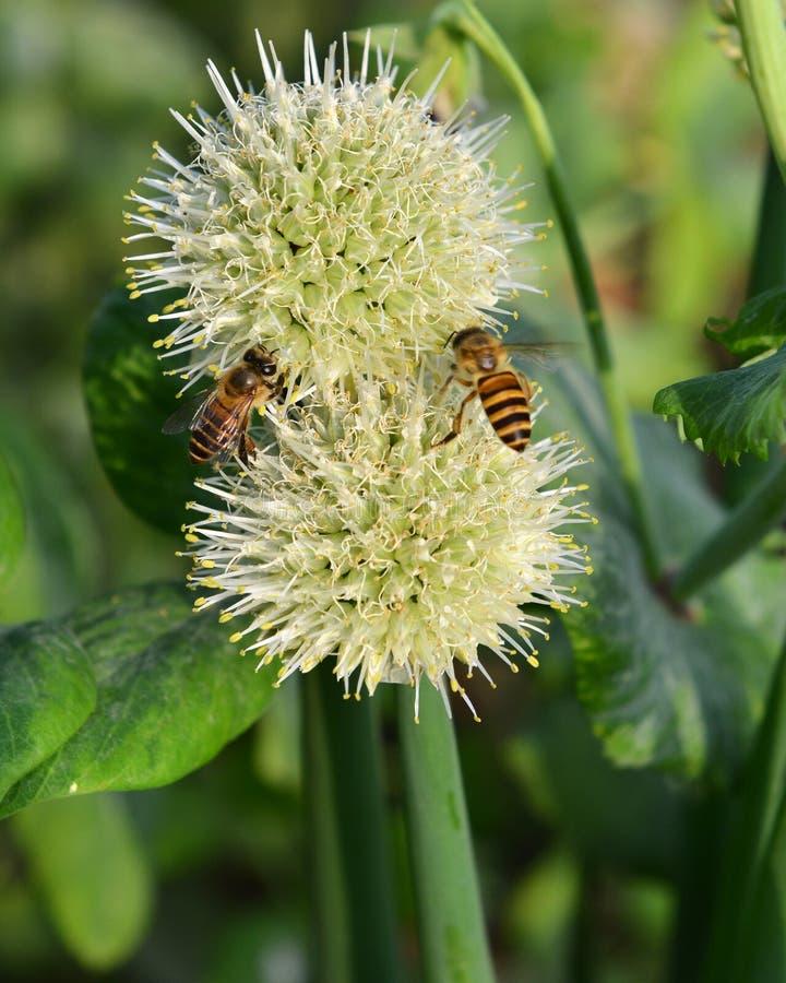 Fiore e ape organici della cipolla fotografia stock libera da diritti