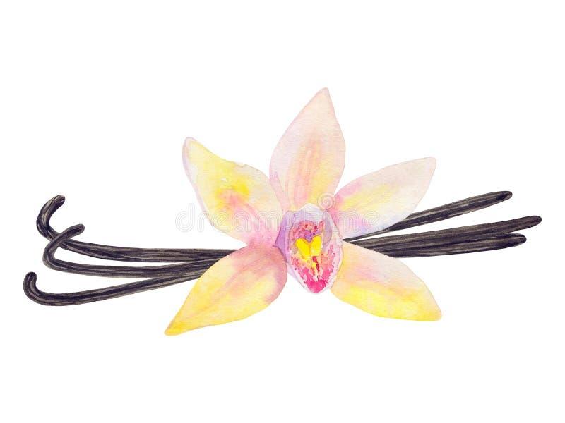Fiore e bastoni della vaniglia Illustrazione disegnata a mano dell'acquerello illustrazione di stock
