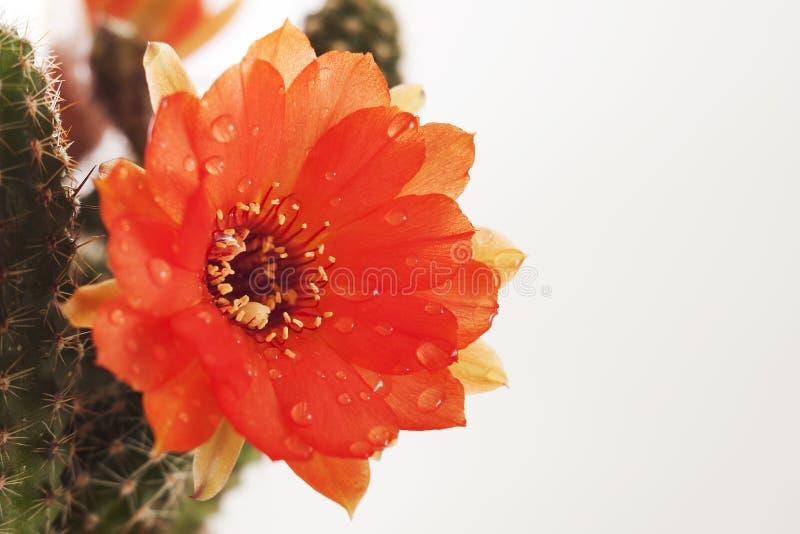 Fiore e del cactus fotografie stock libere da diritti
