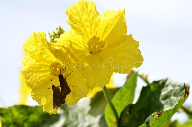 Fiore e farfalla di Luffa fotografia stock